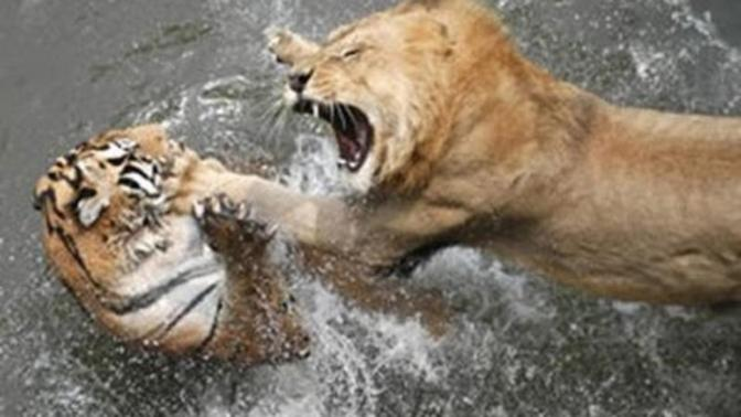 If a tiger fought a lion, which animal would win?