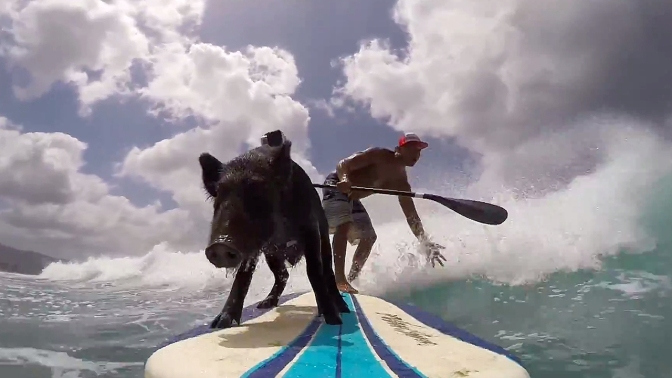Check Out Kama, The Surfing Pig